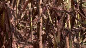 Oklahoma Family Farm`s Corn Maze Destroyed by Bugs [Video]