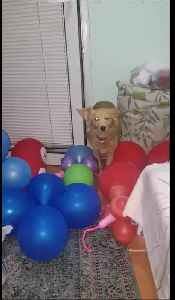Brave Pooch Overcomes Intense Balloon Obstacle [Video]