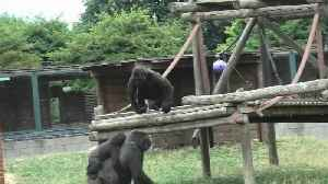 Cocky youngster playfully teases mama gorilla [Video]