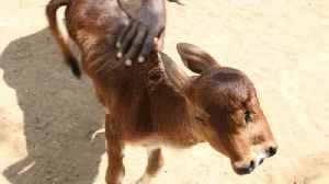 Calf born with two heads in Indian village defies odds to survive for over a month [Video]