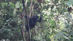 US tourist captures moment baby gorilla falls out of tree [Video]