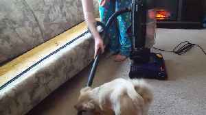 Small Dog Attacks Vacuum Cleaner [Video]