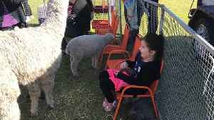 Little girl finds herself surround by animals at petting farm [Video]