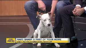 Pet of the week: 11-month-old Sharp is an intelligent dog looking for a loving family [Video]