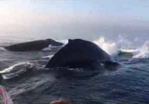 Incredible Triple Whale Breach Stuns Onlookers in Canada [Video]