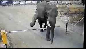 Elephant gracefully steps over boom barrier with ease [Video]
