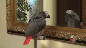 Talking parrot has full blown conversation with reflection [Video]