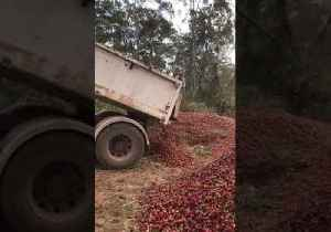 Heartbreaking Video Shows Truckloads of Strawberries Destroyed Amid Needle Contamination Scare [Video]