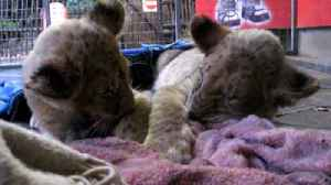 Adorable lion cubs try their best to stay awake [Video]
