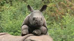 Energetic baby rhino begs mom to play with him [Video]