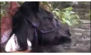 Two 'Scared and Confused' Horses Found Neck-Deep in Flood Waters [Video]