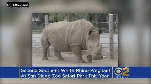 Second White Rhino Impregnated Through Artificial Insemination At San Diego Zoo [Video]