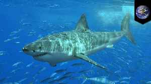 Researchers find sharks meeting in the middle of the Pacific Ocean [Video]
