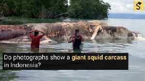 A Giant Squid Carcass was Found in Indonesia? [Video]