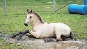 Adorable colt loves splashing in water puddle [Video]