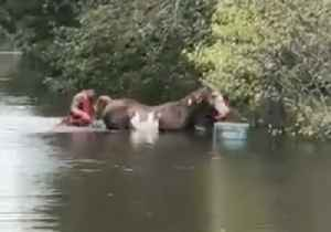 County Team Rescues Horse From Flooded Pasture [Video]