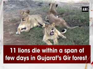 11 lions die within a span of few days in Gujarat's Gir forest [Video]