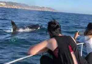 Killer Whales Make a Rare Appearance in San Diego [Video]