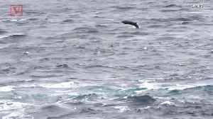 Why These Basking Sharks Are Leaping Out of the Water Is a Mystery [Video]