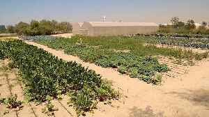 How do you grow vegetables in the desert? [Video]