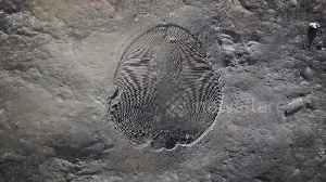 558 million year old fossil unearthed in Russia [Video]