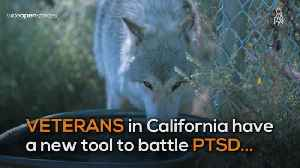 WOS Wolves Help Veterans with PTSD [Video]