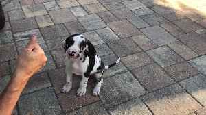 Great Dane puppy's first experience with chicken [Video]