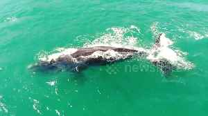 Drone captures mother whale and calf swimming off Chile [Video]