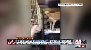 80 dogs rescued from Hurricane Florence up for adoption in Mission, KS [Video]
