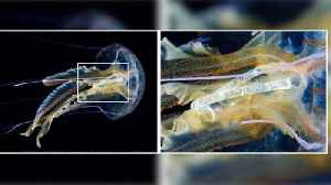 Heartbreaking Image Shows Cigarette Wrapper Inside Jellyfish [Video]