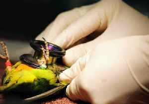 Critically Endangered Parrots Prepare to Board Plane for 'Assisted' Annual Migration [Video]