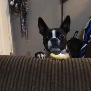 Dog Struggles to Grab Treat Kept at a Distance [Video]