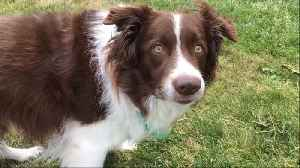 Border Collie answers owners questions by nodding head [Video]