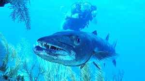 Giant barracuda poses for video and then flashes teeth [Video]