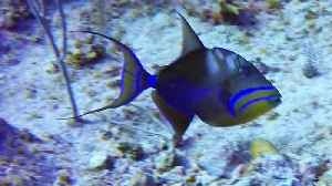 Tiny, furious reef fish chases away much larger Queen Triggerfish [Video]