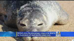 Seal Deaths In New England Caused By Distemper: NOAA [Video]