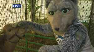 Twin Cities Harvest Fest Goes To The Wolves [Video]