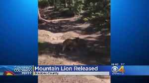 Napping Mountain Lion In Boulder Trapped, Released [Video]