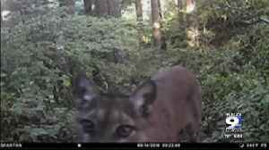 ODFW ends search for killer cougar [Video]