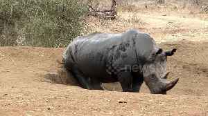 Big male rhino scratches his bum while cooling down in the mud [Video]