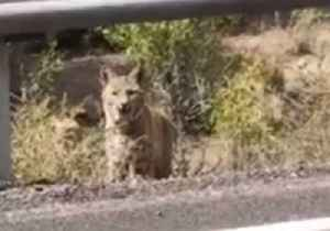 Man Is 'Feline' Brave as He Gets Up Close and Personal With Bobcat Near Utah Power Plant [Video]