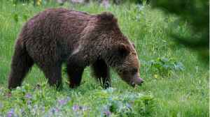 U.S. Judge Saves Yellowstone Grizzlies