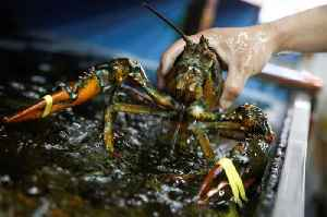 Maine Restaurant to Sedate Lobsters With Marijuana Before Cooking [Video]