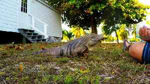Wild iguana comes running for red peppers [Video]
