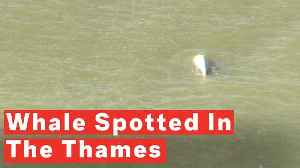 Rare Beluga Whale Spotted Swimming In The River Thames Near London [Video]