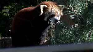 Red Panda Baby Makes Debut at Milwaukee County Zoo [Video]