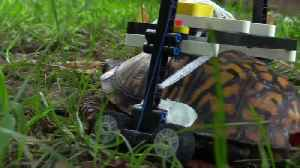 Injured wild turtle gets LEGO wheelchair at U.S. zoo [Video]