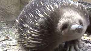 'Bless You:' Echidna With Ant Allergy Sneezes on Keeper's Boot [Video]