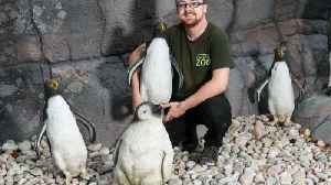 Zoo forced to use fake plastic penguins in new �60k enclosure – thanks to nationwide shortage [Video]