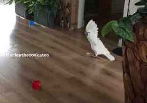 Harley the Cockatoo Practices Soccer Moves [Video]